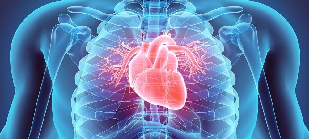 human-heart-fact